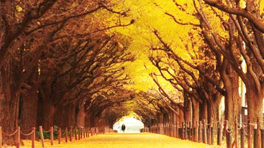 Top 07 Ginkgo Tree Tunnel Japan