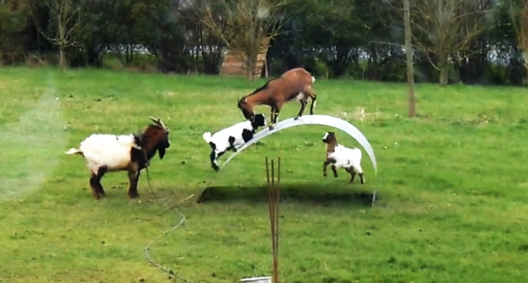 goatsbalancing03