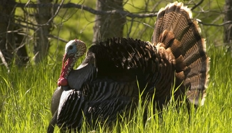 The Turkey Behind the Thanksgiving Celebration