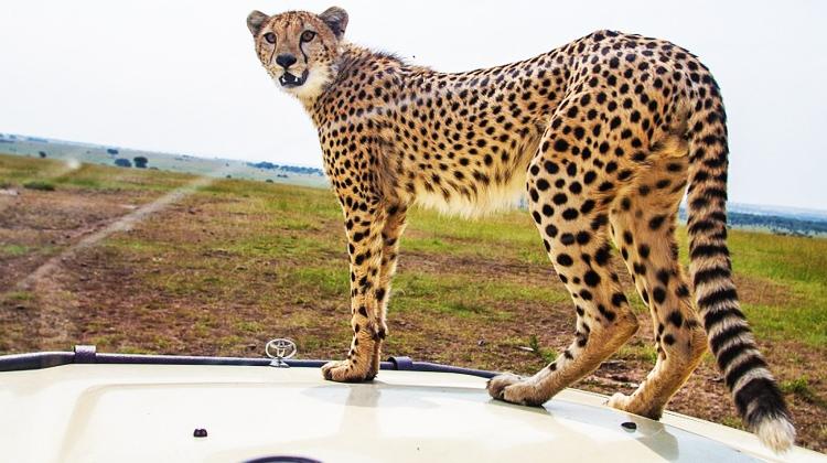Cheetah001