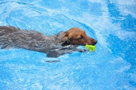 9442058-Red-Long-Haired-Dachshund-Swimming-in-a-Pool-with-a-Toy-Stock-Photo